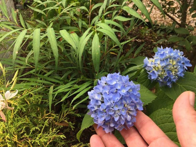 アジサイが小さな花を咲かせました